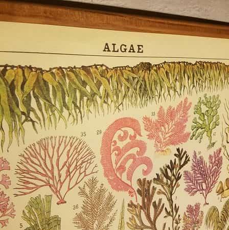 affiche-pedagogique-cavallini-algues-homeschooling-vintage-collection-enfant
