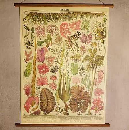affiche-pedagogique-cavallini-algues-homeschooling-vintage-montessori-collection-enfant