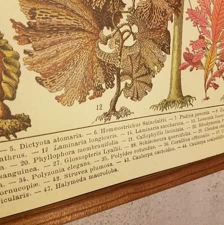affiche-pedagogique-cavallini-algues-vintage-montessori-collection-enfant