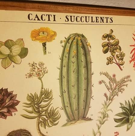 affiche-pedagogique-cavallini-cactus-succulentes-homeschooling-botanique