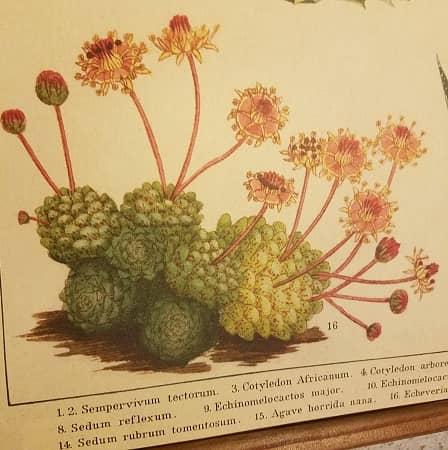 affiche-pedagogique-cavallini-cactus-succulentes-homeschooling-vintage-instruction-en-famille