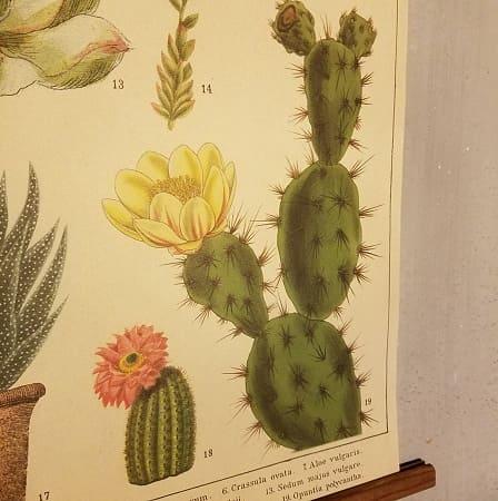 affiche-pedagogique-cavallini-cactus-succulentes-homeschooling-waldorf