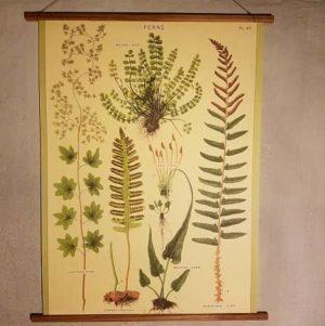 affiche-pedagogique-cavallini-fougeres-ferns-homeschooling-vintage