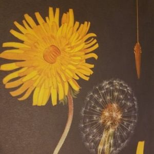 affiche-pedagogique-cavallini-pissenlit-dandelion-naturalisme-homeschooling-ief