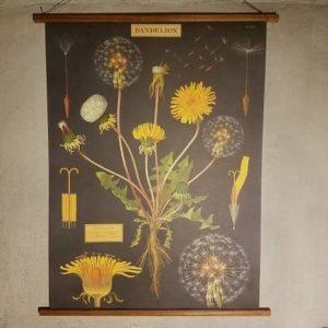 affiche-pedagogique-cavallini-pissenlit-dandelion-naturalisme-homeschooling-vintage