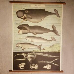 affiche-pedagogique-cavallini-whales-baleines-montessori