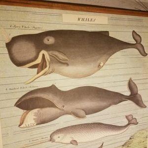affiche-pedagogique-cavallini-whales-baleines-naturalisme-enfant