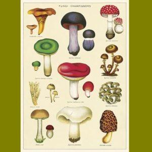 affiche-pedagogique-cavallini-champignon-ief