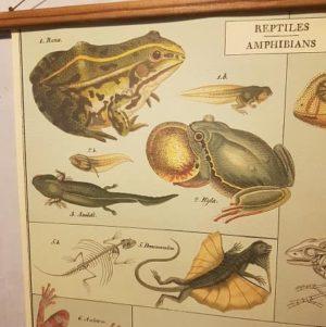 affiche-pedagogique-cavallini-reptiles-amphibiens-science-naturalisme
