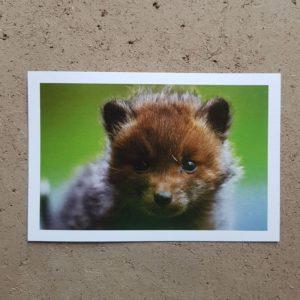 coffret-carte-postale-voeux-photographe-animalier-renardeau-photovolcanique-bastien-masson