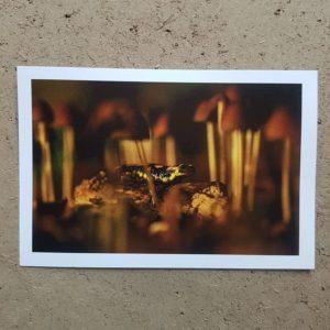 coffret-carte-postale-voeux-photographe-animalier-salamandre-photovolcanique-bastien-masson