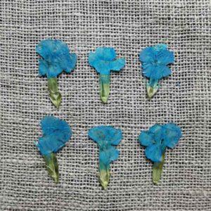 fleur-sechee-pressee-dianthus-chinois-bleu-craft-diy