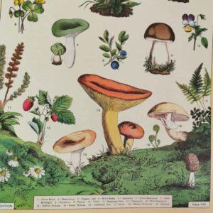 affiche-cavallini-champignons-comestibles-decoration